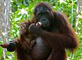 Orang Utan (Pongo pygmaeus) female with baby (8066238030).jpg