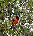 Orange-backed Troupial (Icterus croconotus) (28994895200).jpg