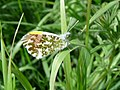 Orange Tip Butterfly (5650320481).jpg