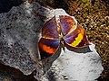 Orange oakleaf Kallima inachus, Satpura TR, AJTJ.jpg