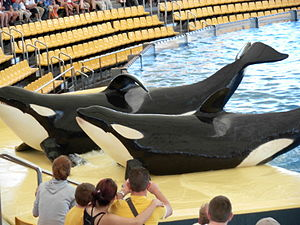 Orcas at Loro Parque.