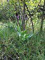 Orchidee neben Weinfeldern2.jpg