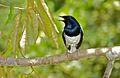 Oriental Magpie-robin (Copsychus saularis) (8678602942).jpg