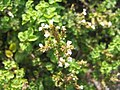 Origanum vulgare aureum 2zz.jpg