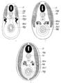 Origin of Vertebrates Fig 156.png