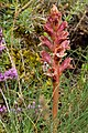Orobanche alba inflorescence (04).jpg