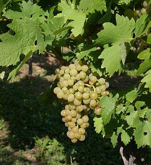 Ortega (grape) - Image: Ortega 04c 4