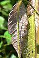 Orthonecroscia violascens (21034726593).jpg