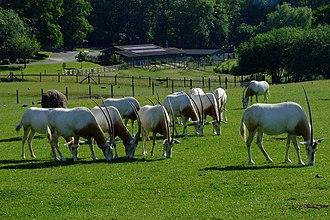 Scimitar oryx - Captive Scimitar oryx grazing in a paddock