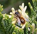 Osmia bicornis male - Flickr - gailhampshire.jpg