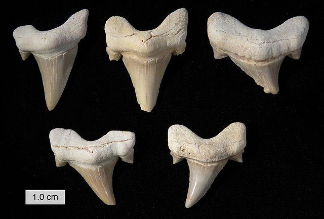 Zuby žraloka otodus obliquus