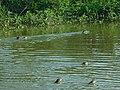 Otter in Kaziranga National Park.jpg