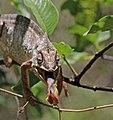 Oustalet's chameleon (Furcifer oustaleti) male feeding Anja Community Reserve 4e.jpg