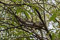 Oustelet's Chameleon - Madagascar MG 1786 (15111601518).jpg