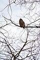 Owl (60810994).jpeg