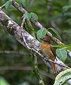 Pachyramphus castaneus.jpg
