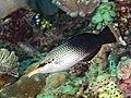Pacific bird wrasse female (Gomphosus varius) (42972598164).jpg