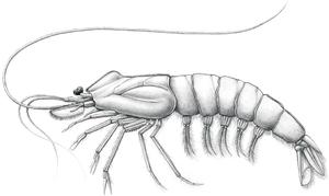 Palaeobenthesicymus - Image: Palaeobenthesicymus libanensis reconstruction
