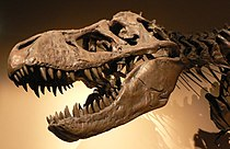 Tyrannosaurus rex skull and upper vertebral column, Palais de la Découverte, Paris.