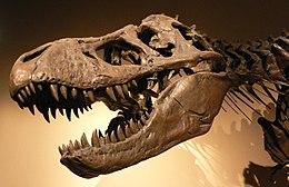 A Tyrannosaurus rex koponyája a párizsi Palais de la Découverte gyűjteményében