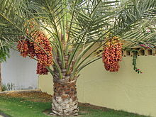The date palm tree with fresh dates