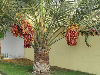 Gardens of ancient Egypt - Image: Palm tree wtih Dates