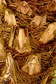 Palma robelina (Phoenix roebelenii) - Detalle de cicatrices del estípite (15006924718).jpg