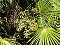 Palmier de Chine fruits Bergerac Mounet-Sully (4).jpg