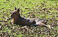 Pampashasen Mara Dolichotis patagonum Tierpark Hellabrunn-6.jpg