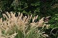 Panicum virgatum Shenandoah 6zz.jpg