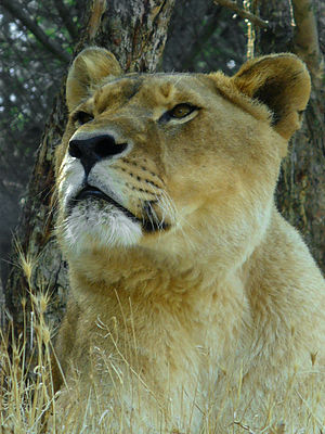 English: Panthera leo, Felidae, Lion, female; ...