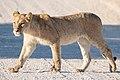 Panthera leo 1M2A5601 (32104137988).jpg