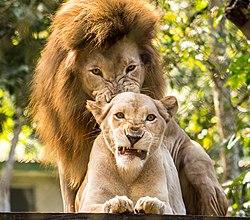 Resultado de imagen de leones