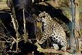 Panthera onca zoo Salzburg 2009 10.jpg