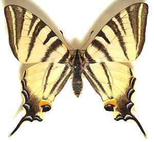 Papilio.podalirius.mounted.jpg