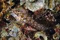 Parablennius incognitus 27-07-06.jpg