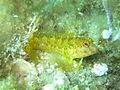Parablennius pilicornis in Banyuls.jpg