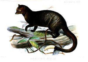 Paradoxurus - Paradoxurus jerdoni