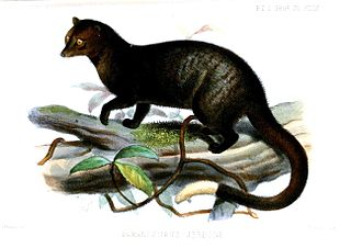 Brown palm civet species of mammal