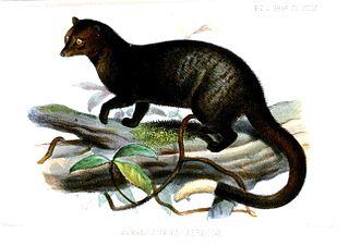 Brown palm civet Species of carnivore