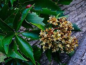 Parthenocissus quinquefolia - Virginia Creeper.jpg