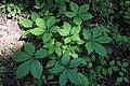 Parthenocissus quinquefolia - leaves (18437759424).jpg