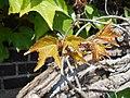 Parthenocissus tricuspidata Veitchii 2017-05-23 0456.jpg