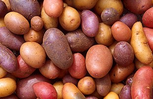 """Potato <a href=""""http://search.lycos.com/web/?_z=0&q=%22cultivars%22"""">cultivars</a> appear in a variety of colors, shapes, and sizes"""