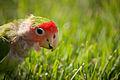 Peachfaced Lovebird Closeup.jpg