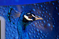 Peacock Gulf Shores Zoo.jpg
