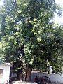 Peepal Tree in North India.jpg