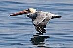 Pelican 1 (14962189624).jpg