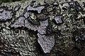 Peniophora quercina (34320932343).jpg