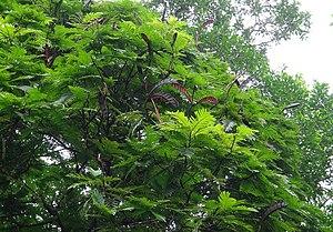 Pentaclethra macroloba - Pentaclethra macroloba tree in Costa Rica